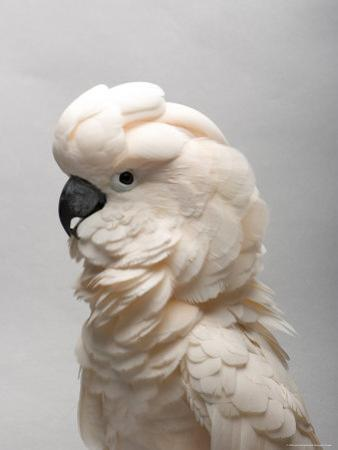 Salmon-Crested Cockatoo at the Sedgwick County Zoo, Kansas by Joel Sartore