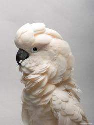 Affordable Cockatoo and Cockatiel (Color Photography) Posters for