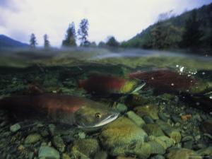 Salmon Underwater, Clayoquot Sound, Vancouver Island by Joel Sartore