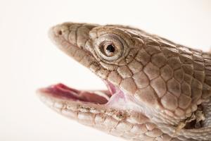 San Diego alligator lizard, Elgaria multicarinata webbii by Joel Sartore