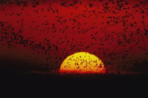 Sandhill cranes (Grus canadensis) by the hundreds fly across the sky. by Joel Sartore