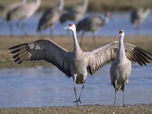 Sandhill Cranes Roost Along the Platte River Near Kearney, Nebraska by Joel Sartore