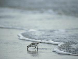 Sandpiper Foraging in the Surf by Joel Sartore