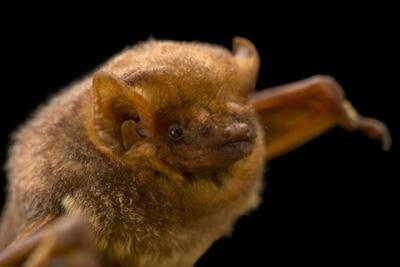 Seminole bat, Lasiurus seminolus, at the Austin Bat Refuge. by Joel Sartore