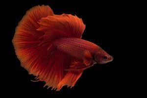 Siamese fighting fish or betta, Betta splendens, in Lincoln, Nebraska. by Joel Sartore