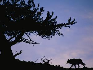 Silhouetted Wolf in Yellowstone National Park by Joel Sartore
