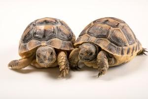 Six Month Old Greek Tortoises at Parco Natura Viva by Joel Sartore