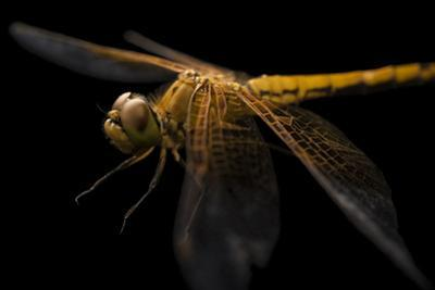Skimmer dragonfly, Sympetrum occidentale by Joel Sartore