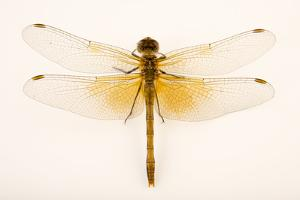 Skimmer dragonfly, Sympetrum occidentale by Joel Sartore