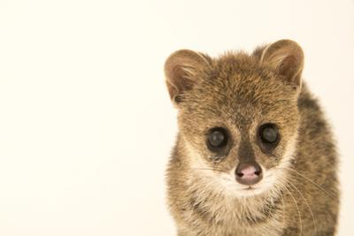 Small Indian civet, Viverricula indica by Joel Sartore
