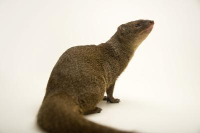 Small Indian mongoose, Herpestes javanicus, at the Assam State Zoo. by Joel Sartore