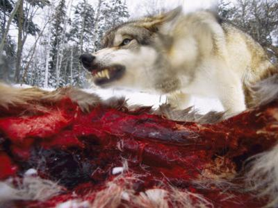 Snarling Gray Wolf near a Deer Carcass in Upper Minnesota by Joel Sartore