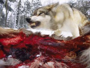 Snarling Gray Wolf near a Deer Carcass in Upper Minnesota by Joel Sartore