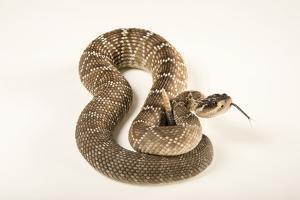 Sonoran blacktail rattlesnake, Crotalus molossus nigrescens by Joel Sartore