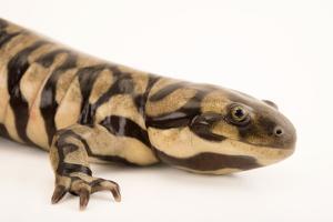 Sonoran tiger salamander, Ambystoma tigrinum stebbinsi by Joel Sartore