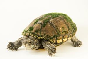 Sonoyta mud turtle, Kinosternon sonoriense longifemoralis by Joel Sartore