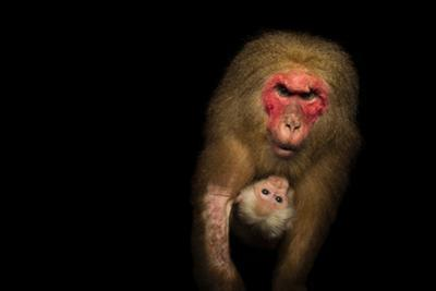 Southern pig-tailed Macaque or Beruk with young, Macaca nemestrina by Joel Sartore