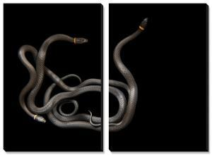 Southern Ring-Necked Snakes, Diadophis Punctatus Punctatus by Joel Sartore