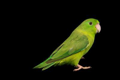 Spectacled parrotlet, Forpus conspicillatus by Joel Sartore