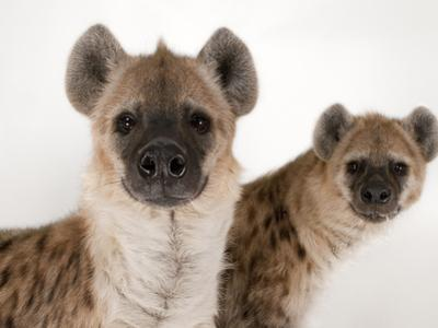 Spotted Hyenas, Crocuta Crocuta, at the Sunset Zoo by Joel Sartore