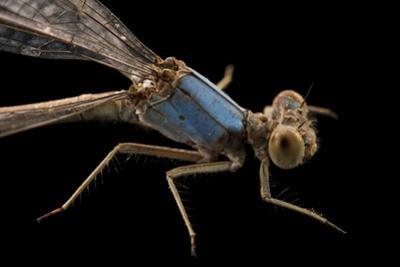 Spotted spreadwing damselfly, Lestes congener by Joel Sartore