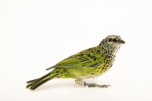 Spotted tanager, Tangara punctata, at the Nashville Zoo. by Joel Sartore