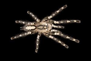 Sri Lanka ornamental spider, Poecilotheria fasciata, at the Budapest Zoo. by Joel Sartore