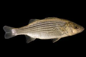 Striped bass, Morone saxatilis, at Welaka National Fish Hatchery Aquarium. by Joel Sartore