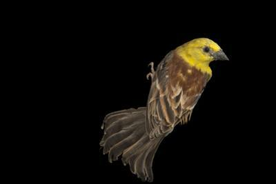Sudan Golden Sparrow, Passer Luteus, from a Private Collection