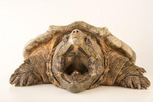 Suwannee alligator snapping turtle from the Suwannee River in Florida. by Joel Sartore
