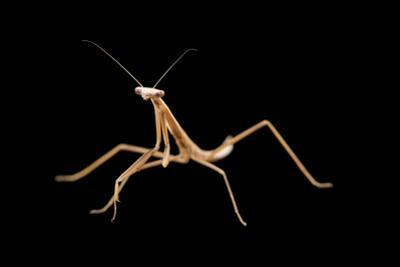 Taiwan giant grass mantis, Mesopteryx alata, at the Budapest Zoo. by Joel Sartore