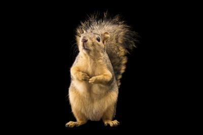 Texas fox squirrel, Sciurus niger ludovicianus, at Liberty Wildlife. by Joel Sartore