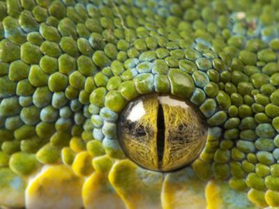 The Eye of a Green Tree Python, Morelia Viridis
