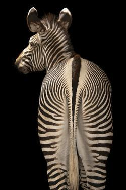 The Rear End of an Endangered Grevy's Zebra, Equus Grevyi by Joel Sartore