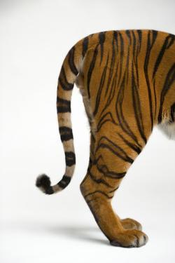 The Tail End of an Endangered Malayan Tiger, Panthera Tigris Jacksoni by Joel Sartore