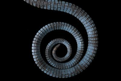 The tail of a blue spotted tree monitor, Varanus macraei, at the Gladys Porter Zoo. by Joel Sartore