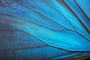 The Wing of a Blue Morpho Butterfly, Morpho Menelaus Menelaus by Joel Sartore