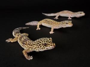 Three Female Leopard Geckos at the Zoo, Sunset Zoo, Kansas by Joel Sartore