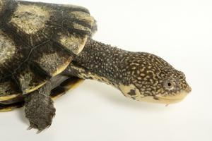 Tuberculated Toad-Headed Turtle, Mesoclemmys Tuberculata by Joel Sartore