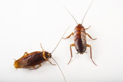 Two American Cockroaches, Periplaneta Americana, at the Dallas Zoo. by Joel Sartore