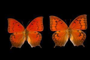 Two Federally Endangered Florida Leafwing Butterflies, Anaea Troglodyta Floridalis by Joel Sartore