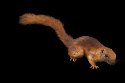 Variable squirrel, Callosciurus finlaysonii cinnamomeus by Joel Sartore