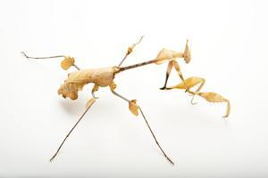 Violin Mantis, Gongylus Gongylodes, at the Omaha Henry Doorly Zoo. by Joel Sartore