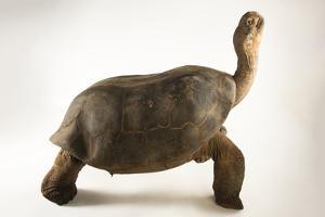 Volcan Alcedo tortoise, Chelonoidis vicina, at the Oklahoma City Zoo. by Joel Sartore