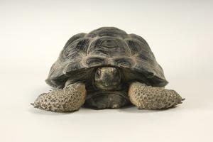 Vulcan Darwin Tortoise, Geochelone Nigra Microphyes, at Omaha Zoo. by Joel Sartore