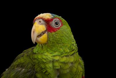 White Fronted Amazon, Amazona Albifrons Nana, from a Private Collection