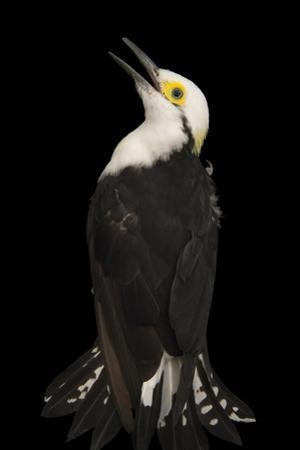 White Woodpecker, Melanerpes Candidus, from a Private Collection