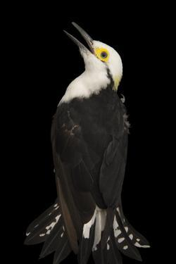 White Woodpecker, Melanerpes Candidus, from a Private Collection by Joel Sartore