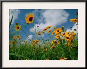 Wild Sunflowers in a Field by Joel Sartore