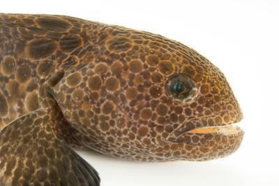 Wolf eel, Anarrhichthys ocellatus, at the Alaska SeaLife Center. by Joel Sartore